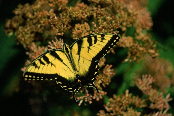 Tiger Swallowtail Butterfly photographed by Jeffrey Zablow in Eastern Neck National Wildlife refuge, MD