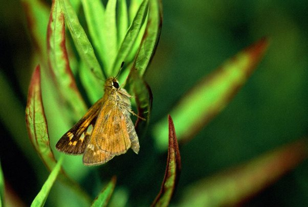 Skipper Butterfly photographed by Jeffrey Zablow in Eastern Neck National Wildlife refuge, MD