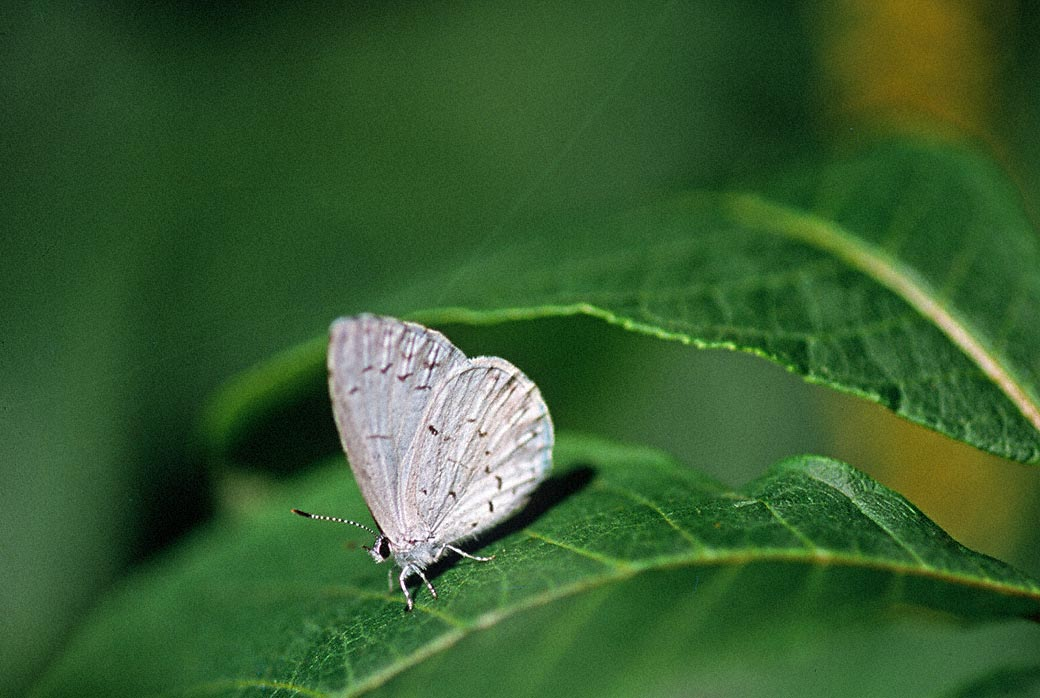Summer Azure Butterfly photographed by Jeffrey Zablow in Phipps Conservatory Outdoor Gardens, PA