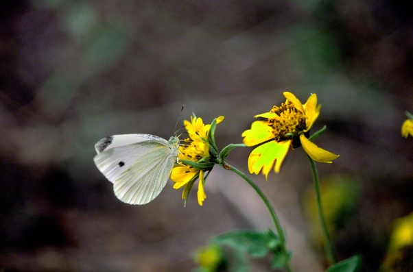 Caper White Butterfly photographed by Jeffrey Zablow in Binyamina, Israel