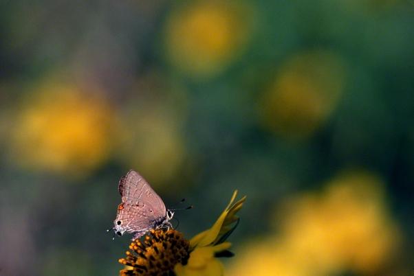 Deudorix Livia Butterfly photographed by Jeffrey Zablow in Binyamina, Israel