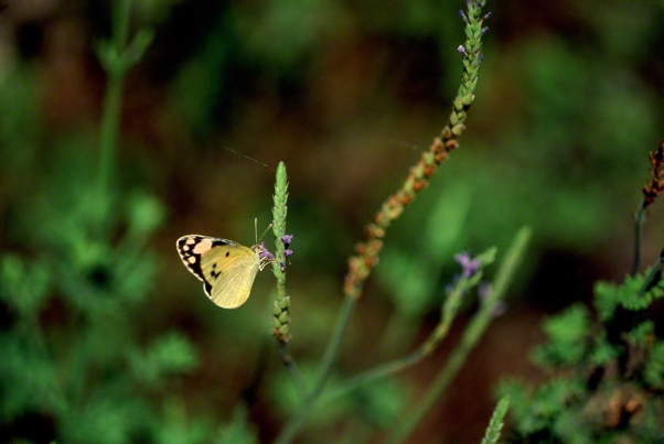 Blue-Spotted Arab Butterfly photographed by Jeffrey Zablow