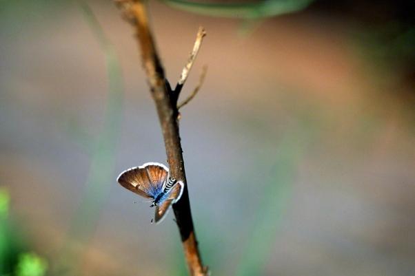 Azanus Jesous Butterfly photographed by Jeffrey Zablow