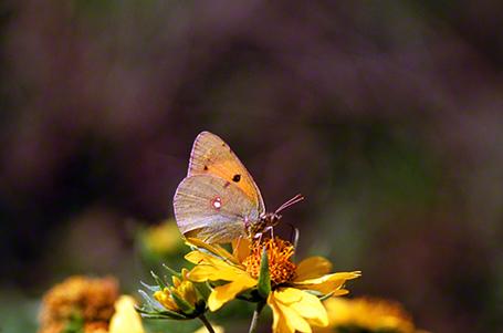 Azanus Ubaldus Butterfly photographed by Jeffrey Zablow in Ein Gedi, Israel