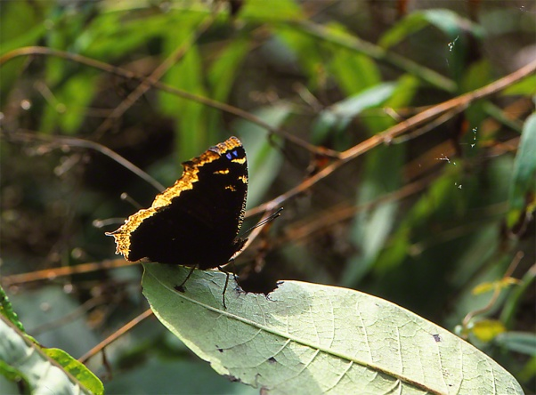 Mourning Cloak Butterfly photographed by Jeffrey Zablow in Raccoon Creek State Park