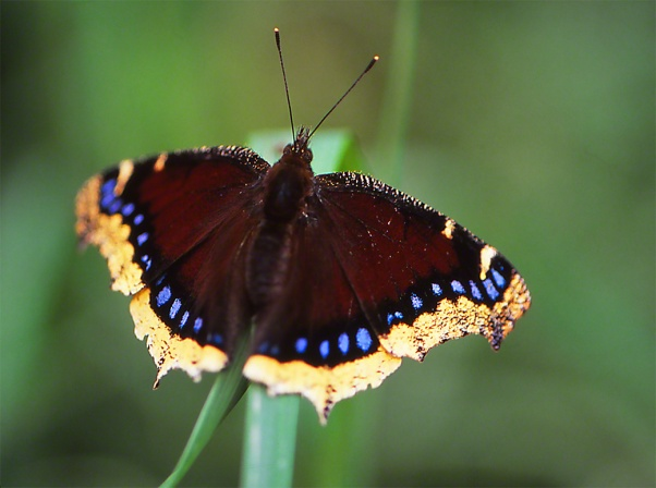 Mourning Cloak Butterfly photographed by Jeffrey Zablow in Toronto Canada
