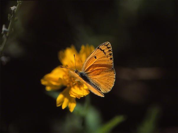 Large Salmon Arab Butterfly photographed by Jeffrey Zablow in Binyamina, Israel