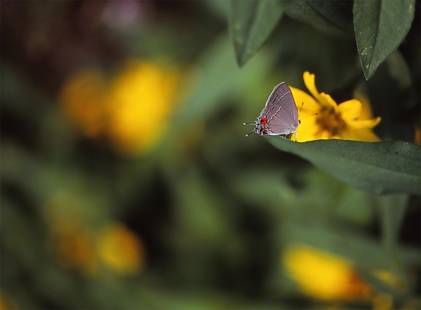 Gray Hairstreak Butterfly photographed by Jeffrey Zablow in Phipps Conservatory, Pittsburgh
