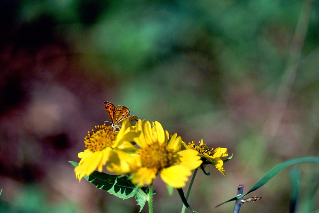 Lesser Fiery Copper Butterfly photographed by Jeffrey Zablow in Binyamina, Israel