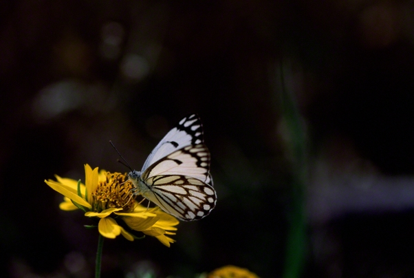 Caper White Butterfly photographed by Jeffrey Zablow