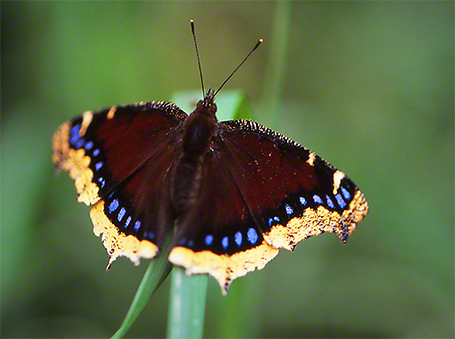 Mourning Cloak Butterfly photographed by Jeffrey Zablow in Toronto