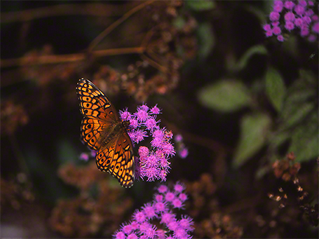 Variegated Fritillary Butterfly photographed by Jeffrey Zablow in Blackwater National Wildlife Refuge, Maryland
