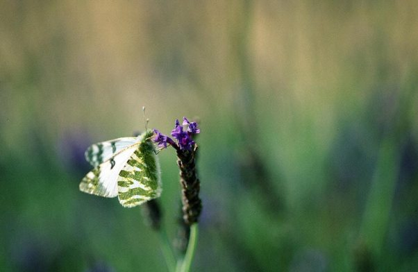 Small White Butterfly photographed by Jeffrey Zablow in Northern Golan, Israel