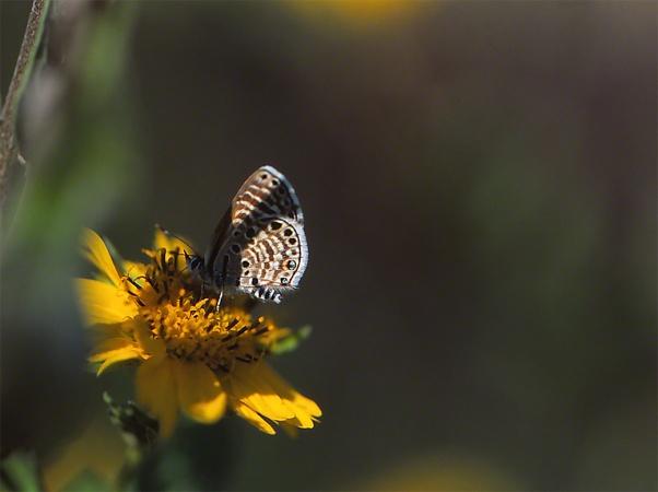 Azanus Jesous Butterfly photographed by Jeffrey Zablow in Binyamina, Israel