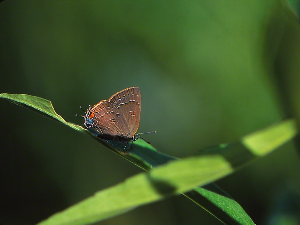 Banded Hairstreak Butterfly photographed by Jeffrey Zablow in Raccoon Creek State Park