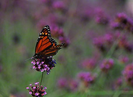 Monarch butterfy photographed by Jeff Zablow at Phipps Conservatory