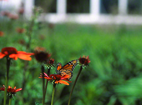 Monarch butterfly photographed by Jeff Zablow at Phipps Conservatory