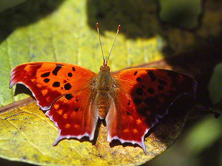 Question Mark butterfly photographed by Jeff Zablow at Raccoon Creek State Park