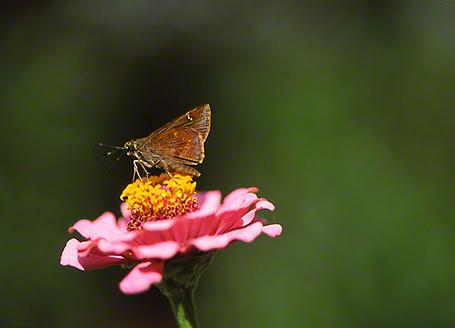 Skipper Butterfly photographed by Jeff Zablow at Savannah, GA Butterfly Garden