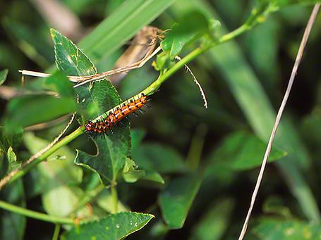 Gulf Fritillary Caterpillar photographed by Jeff Zablow at Savannah National Wildlife Refuge, GA