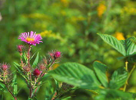 New England Aster Wildflower photographed by Jeff Zablow at Raccoon Creek State Park, PA