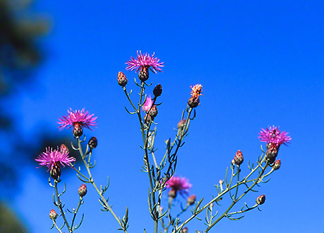 Canadian Thistle Wildflower photographed by Jeff Zablow at Raccoon Creek State Park, PA