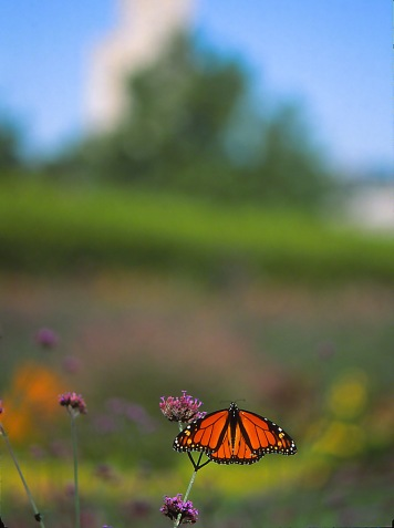 Monarch butterfly photographed by Jeff Zablow at Phipps Conservatory, Pittsburgh, PA