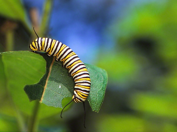 Monarch caterpillar photographed by Jeff Zablow at Raccoon Creek State Park