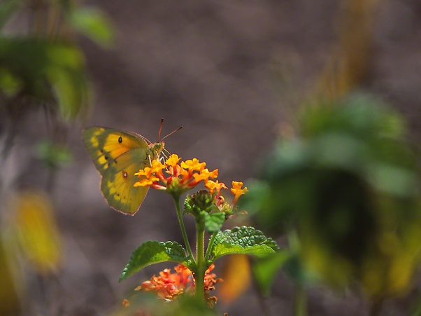 Orange sulphur butterfly photographed by Jeff Zablow at Phipps Conservatory