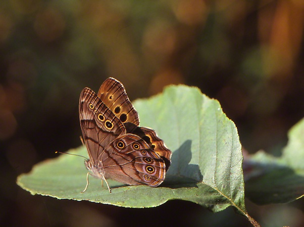 Northern Pearly Eye butterfly photographed by Jeff Zablow at Raccoon Creek State Park
