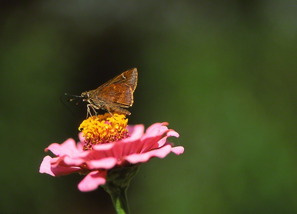 Skipper Butterfly photographed by Jeff Zablow at Savannah, GA Butterfly Garden