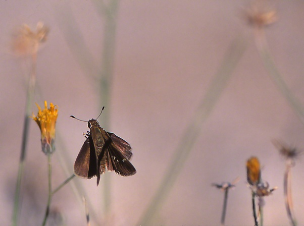 Skipper butterfly photographed by Jeff Zablow at White Mountains Regional Park, AZ
