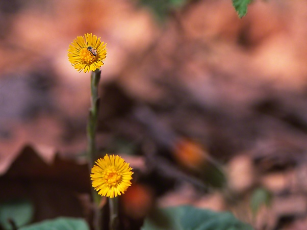 Coltsfoot Wildflowers photographed by Jeff Zablow at Raccoon Creek State Park