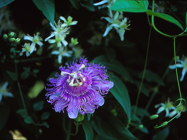Passion flower photographed by Jeff Zablow at Phipps Conservatory