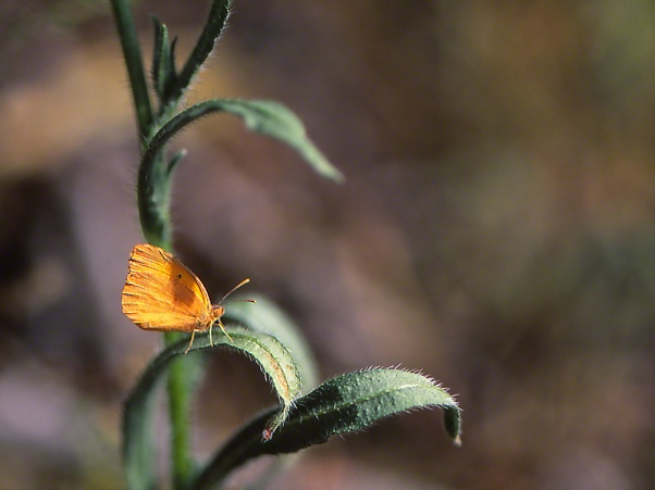 Sleepy Orange Butterfly photographed by Jeff Zablow at White Tank Mountains Regional Park, AZ