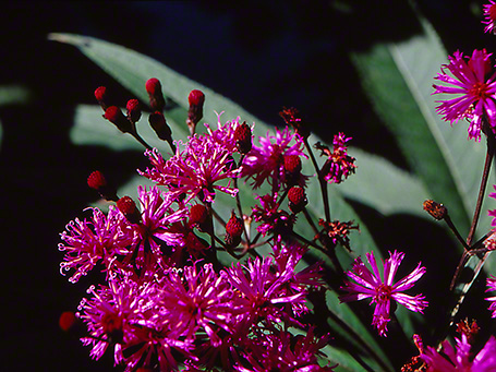 New York Ironweed photographed by Jeff Zablow at Raccoon Creek State Park, PA