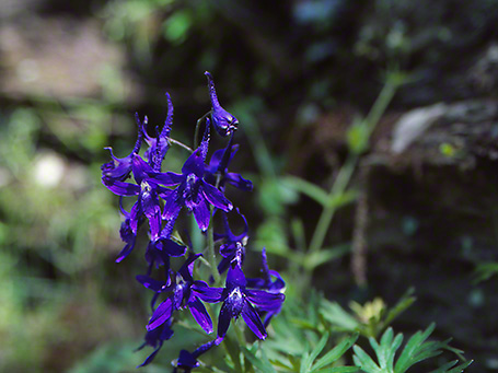 Spring Larkspur Wildflower photographed by Jeff Zablow at Raccoon Creek State Park, PA