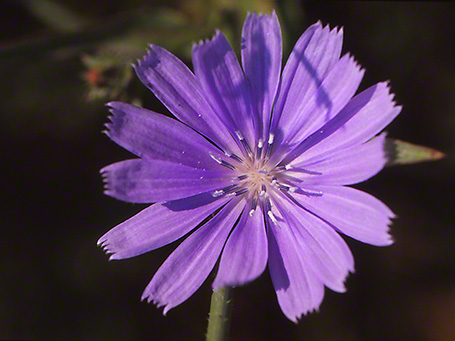 Chicory Wildflower photographed by Jeff Zablow at Raccoon Creek State Park, PA
