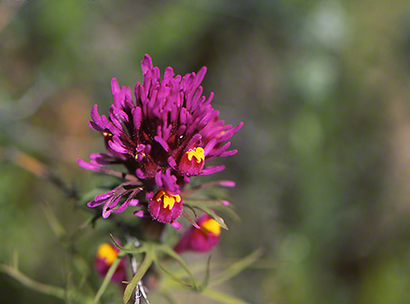 Arroyo Wildflowers photographed by Jeff Zablow at White Mountains Regional Park, AZ