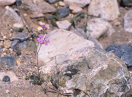 Arroyo Wildflowers, photographed by Jeff Zablow at White Mountains Regional Park, AZ