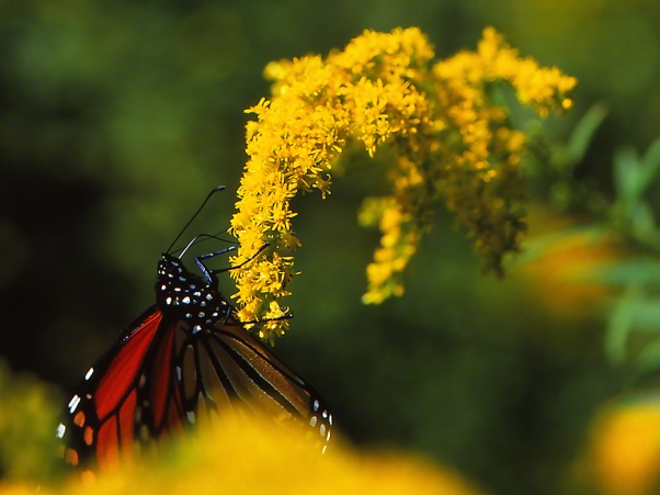 Monarch butterfly photographed by Jeff Zablow at Raccoon Creek State Park