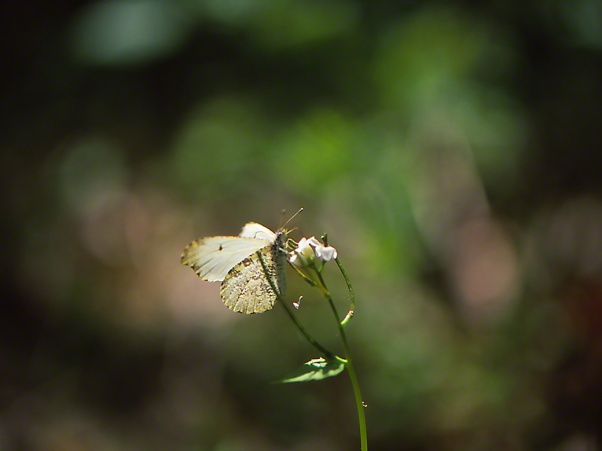 Falcate orange tip butterfly photographed by Jeff Zablow at Raccoon Creek State Park