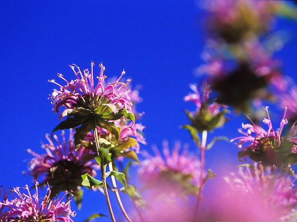 Wild Bergamot photographed by Jeff Zablow at Raccoon Creek State Park, PA