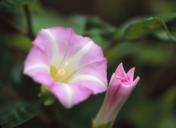 Hedge Bindweed Wildflower photographed by Jeff Zablow at Raccoon Creek State Park, PA