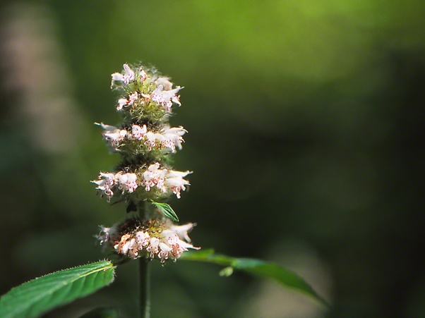 Wood Mint Wildflower photographed by Jeff Zablow on Nichol Road in Raccoon Creek State Park