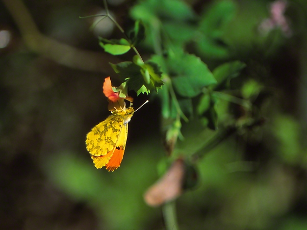Anthocharis damone butterfly photographed by Jeffrey Zablow at Northernmost Golan, Israel