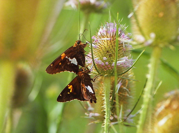 Silverspotted skipper butterflies photographed by Jeffrey Zablow at Raccoon Creek S.P., PA