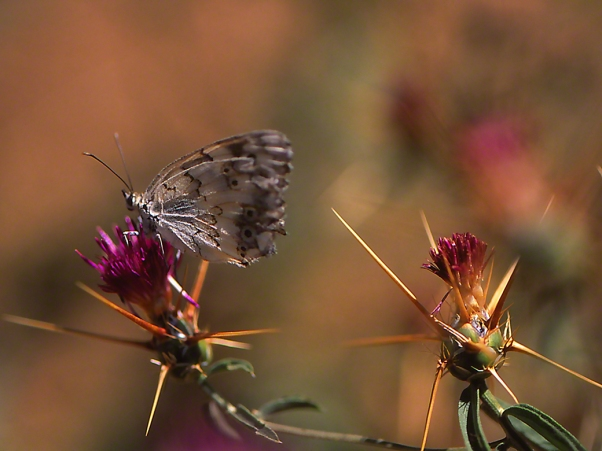 Melanargia titea butterfly photographed by Jeffrey Zablow at Mt. Hermon, Israel