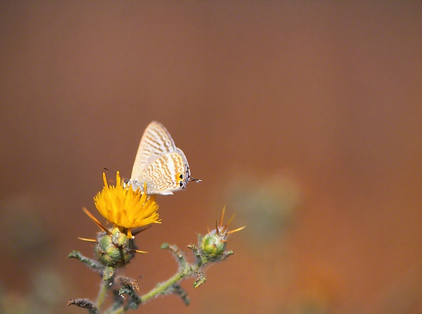 Long-tailed blue butterfly photographed by Jeffrey Zablow at Neve Ativ, Israel