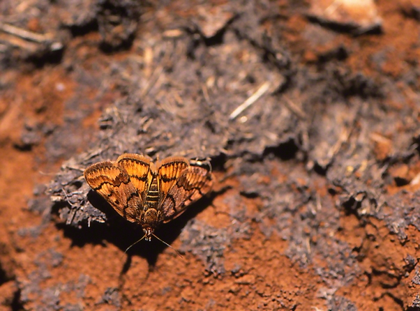 Moth photographed by Jeffrey Zablow at Mt. Hermon, Israel